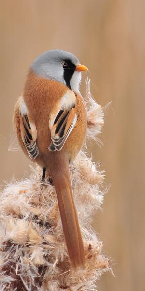 Wąsatka - samiec na pałce